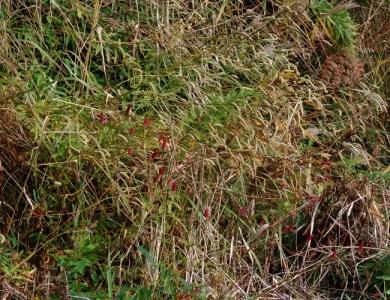 鮮紅色の花穂を持つワレモコウ