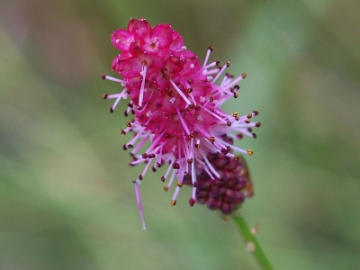 鮮紅色の花穂