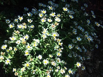 天城山の花