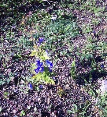 日光白根山の花々