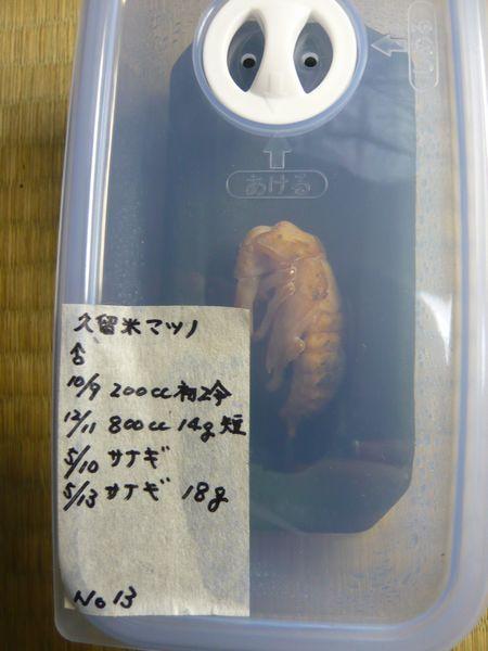 久留米マツノ♂人口蛹室へ