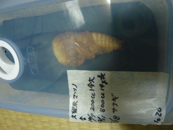 久留米マツノ血統♂蛹