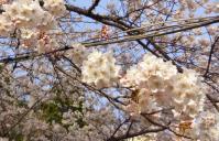 桜2013東照宮4