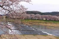 桜2013一目千本桜2大河原
