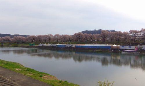 桜2013一目千本桜3大河原