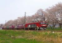 桜2013一目千本桜6船岡東北本線