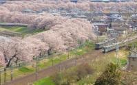 桜2013一目千本桜10船岡城跡公園展望台