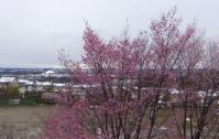 桜2013・4・21雪と桜