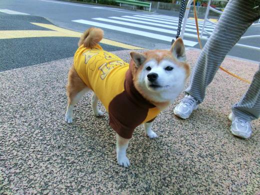 柴犬 わかめちゃん
