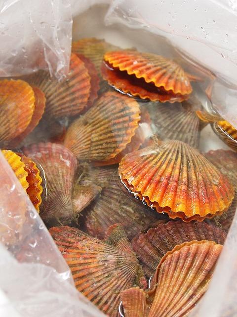 036緋扇貝