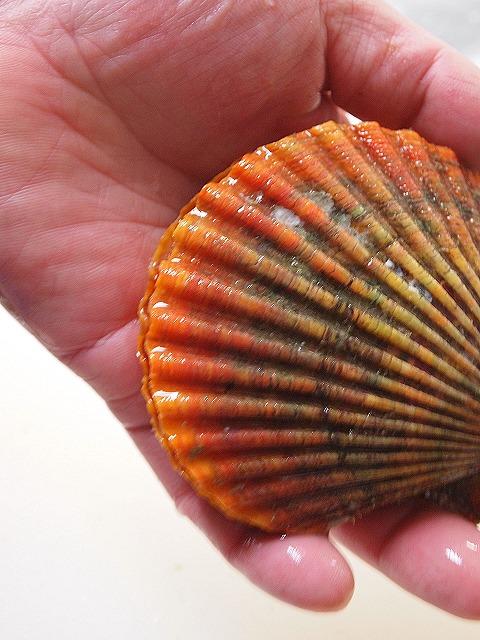 055緋扇貝