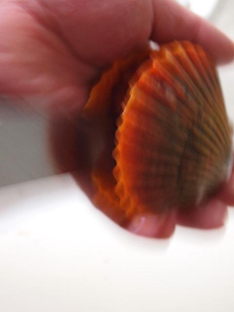 059緋扇貝