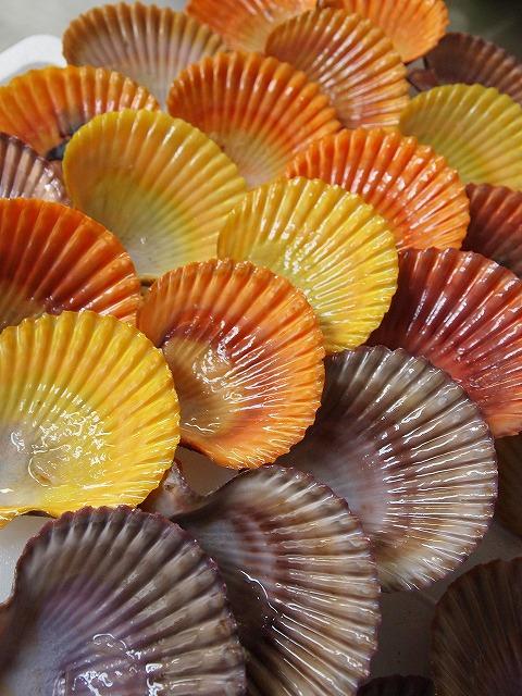 065緋扇貝