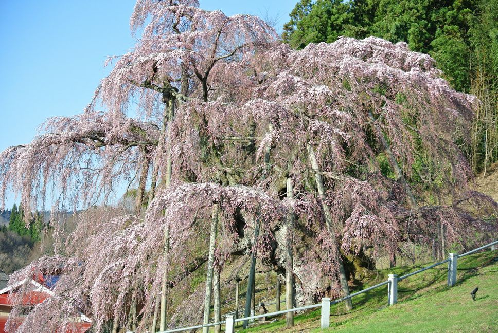 樹齢推定1000年超のベニシダレザクラの巨木