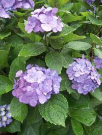 紫陽花DSCN2736_convert_20120616164951