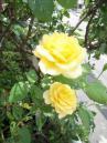 薔薇DSCN2727_convert_20120703232120