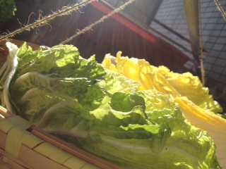 白菜の天日干し2