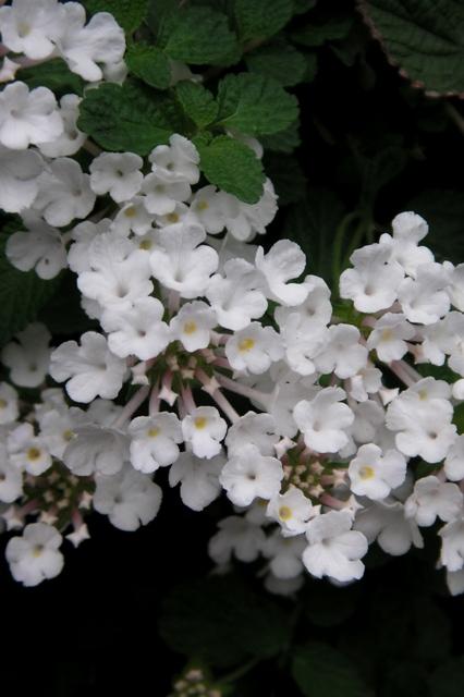 白花ランタナ