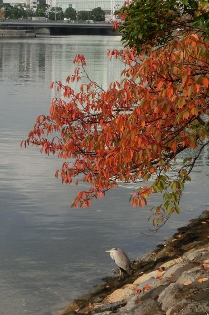 紅葉と青鷺