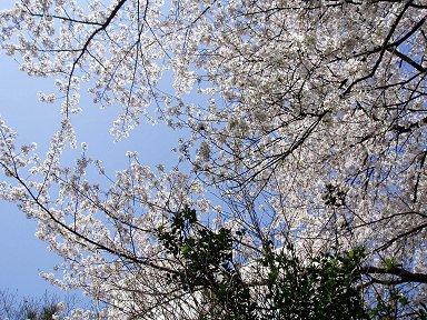 今を盛んの桜と芽吹き始めた若葉downszie