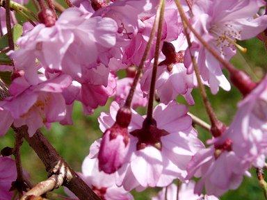 しだれ下がる紅色の桜downsize