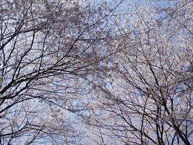 幾重にも重なる薄桃色が青空に映えるdownsize