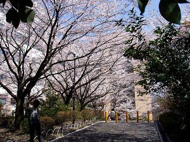 見上げれば桜のトンネルdownsize