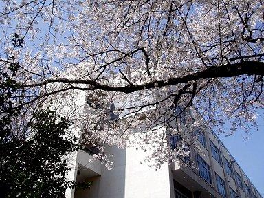 桜が彩る研究棟downsize