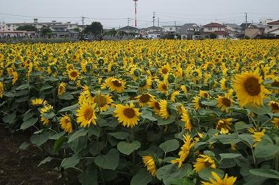 s-himawari2.jpg