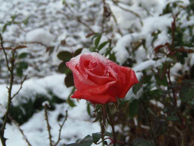 雪のカトリーヌ・・