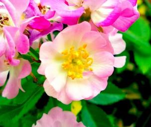 rose0918.jpg
