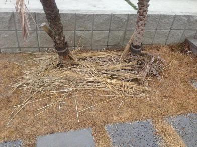 フェニックスの根元に藁を敷く