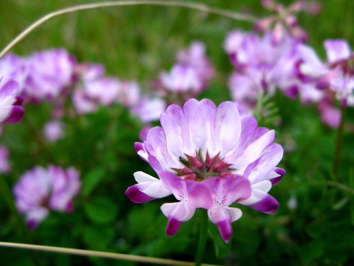 2012-4レンゲの花
