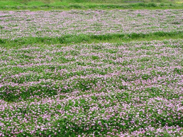 2012-4レンゲの花畑
