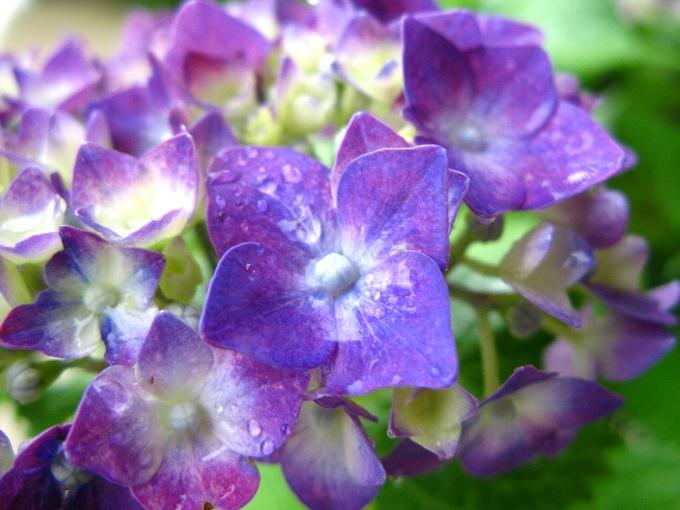 2012-6紫陽花