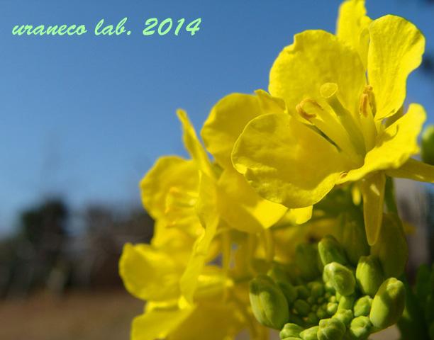 2月5日菜の花