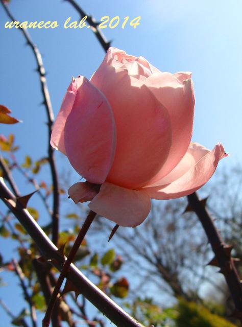 2月5日早春の薔薇