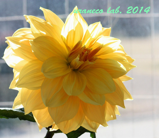 1月28日巨大ダリア黄色