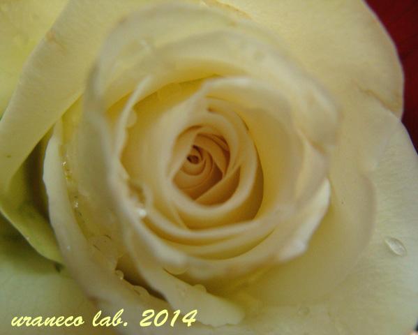 2月10日白薔薇