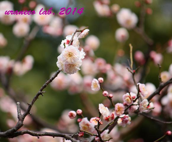2月13日梅仄かに桃色