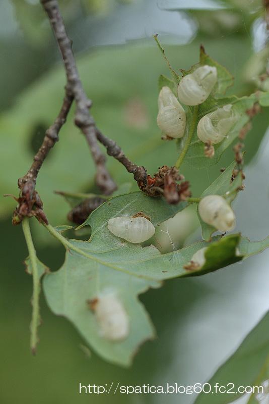 アカシジミ蛹殻