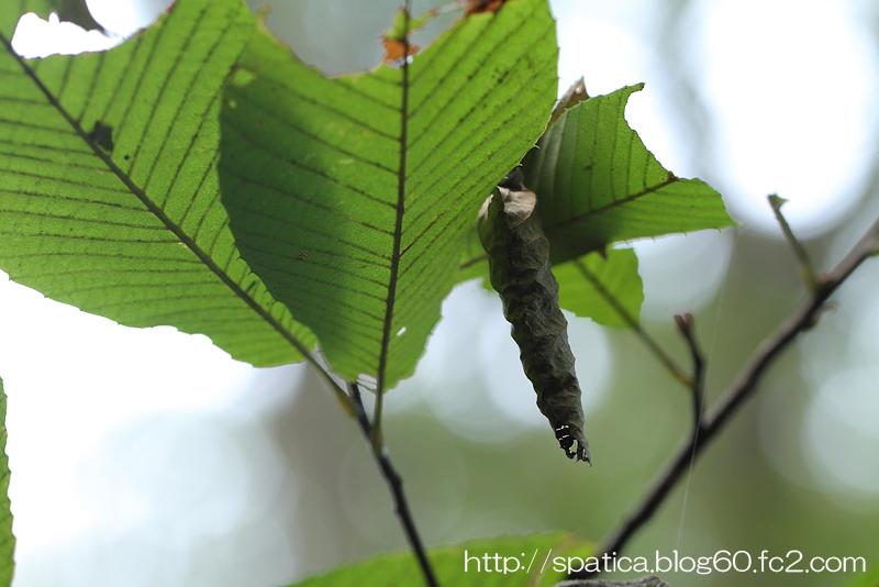 アオバセセリ幼虫巣