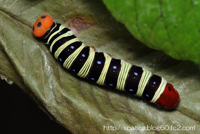 アオバセセリ幼虫