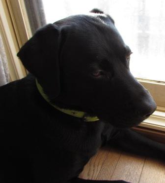 ラブ=盲導犬というイメージ