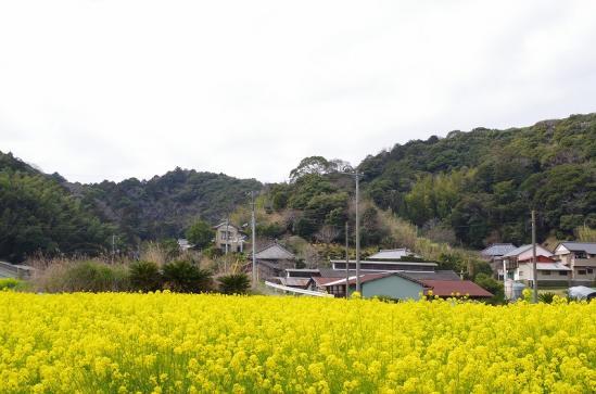 菜の花 3