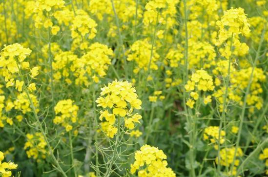 菜の花 4