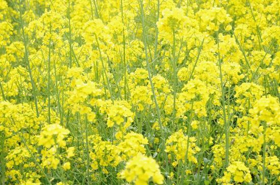 菜の花 5
