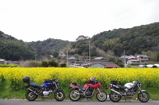 菜の花 7