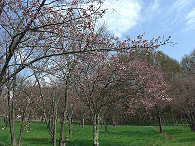 2012 5 2 キトウシ公園 桜