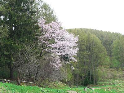 12 5/5 裏山の桜